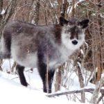 野生動物にも出会えるカモ?!スノーシューツアーでニホンカモシカに出会いました!