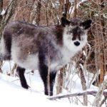 雪上の動物の足跡を追って スノーシューアニマルトラッキングツアー